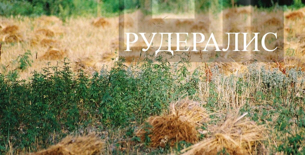 Каннабис Рудералис - ценное растение нашего края!>