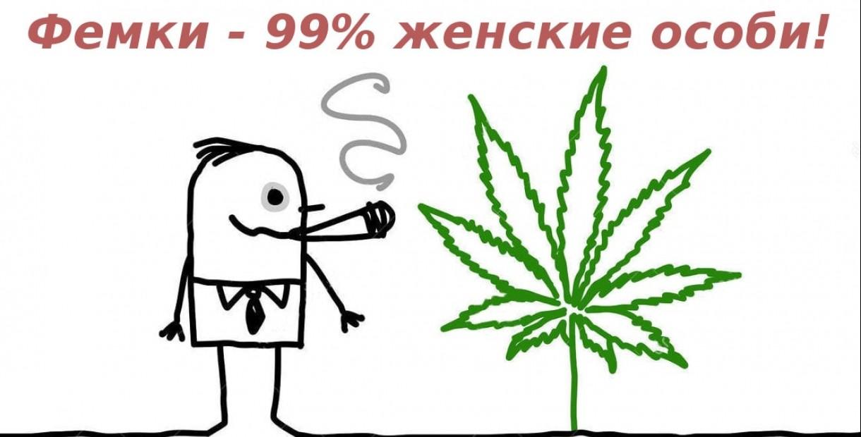 Феминизированные семена марихуаны - лучший посевной материал!>