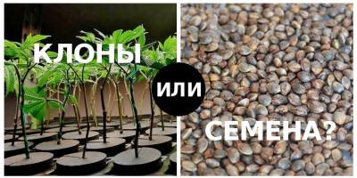 Размножение конопли, сравнение двух методов