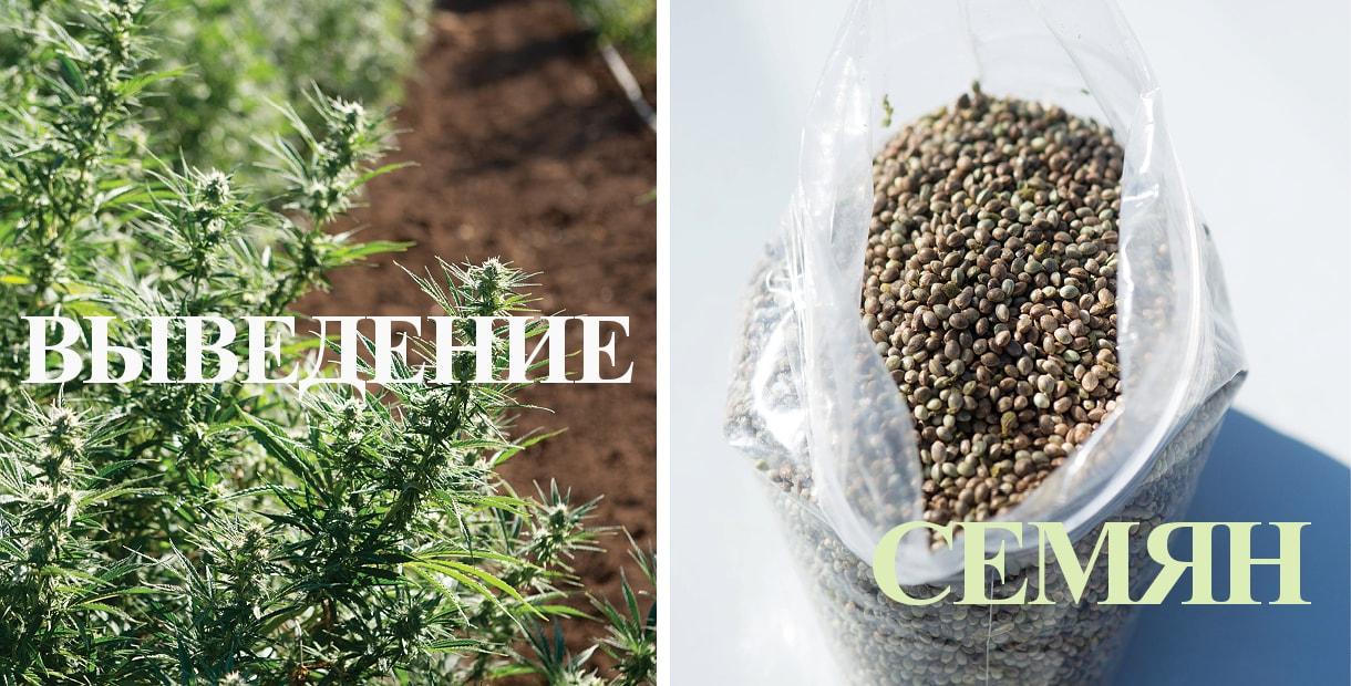 Семена сортового каннабиса - плод долгой селекции>