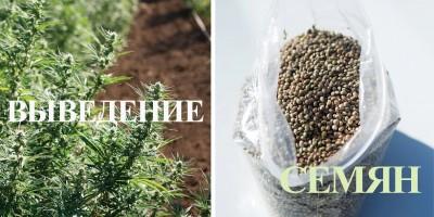 Виды семян конопли и как их производят
