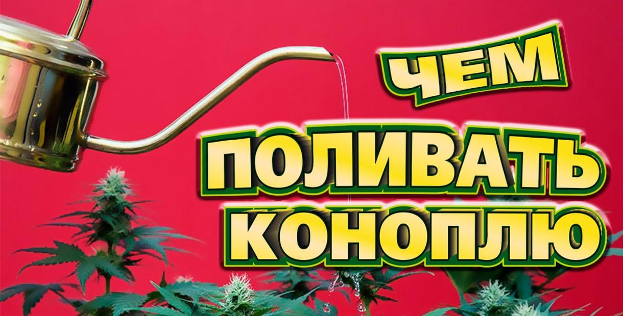 Полив марихуаны: чем и как часто поливают коноплю бридеры из стран легализации>