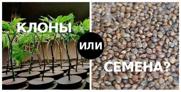 Розмноження коноплі, порівняння двох методів