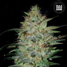 Bulk Seed Bank Sensible Star Feminised