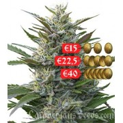 Carpathians Seeds Auto Torch of Gods Feminised