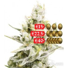 Carpathians Seeds Auto White Witch Feminised