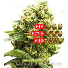 Carpathians Seeds Auto Black Chere Feminised