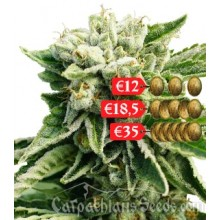 Carpathians Seeds Auto Black Tisa Feminised