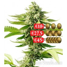 Carpathians Seeds Auto Goverla Feminised