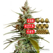 Carpathians Seeds Auto Mazar Feminised
