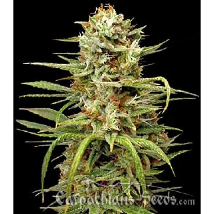 Семена конопли женские где поля марихуаны