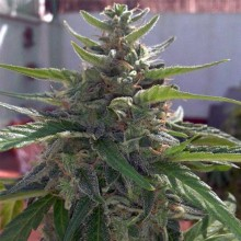 Errors-Seeds Auto Big Devil Feminised импорт