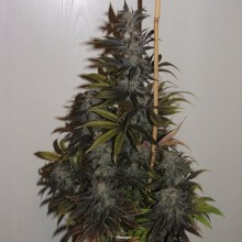 Errors-Seeds Auto Blueberry Feminised импорт