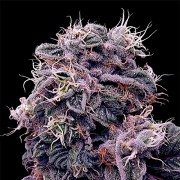 Errors-Seeds Auto Blueberry Feminised Україна