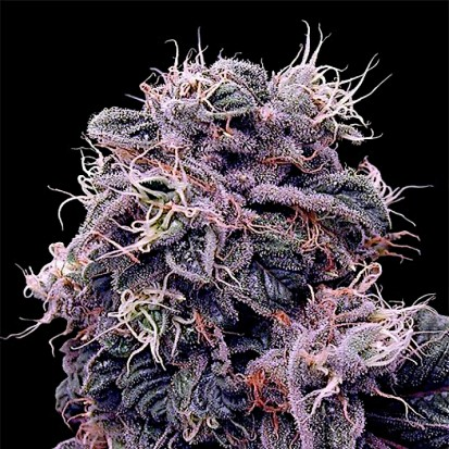 Семена конопли Errors-Seeds Auto Blueberry Feminised Украина
