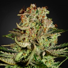 Errors-Seeds Auto Super Bud Feminised імпорт