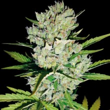 Errors-Seeds Auto Super Skunk Feminised імпорт