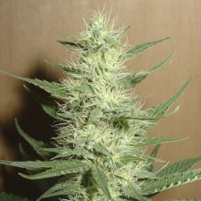 Errors-Seeds Auto Big Bud Feminised импорт