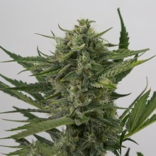 Errors-Seeds Auto OG Kush Feminised Украина