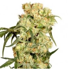 Errors-Seeds Auto Blackberry Kush Feminised импорт
