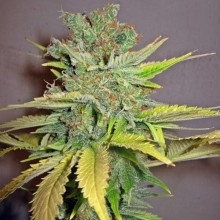 Errors-Seeds Auto California Orange Feminised импорт