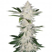 Errors-Seeds Auto Chemdawg Feminised імпорт
