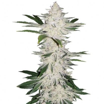 Семена конопли Errors-Seeds Auto Chemdawg Feminised импорт