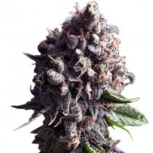 Errors-Seeds Auto Purple Regular Україна