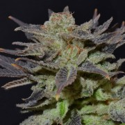 Errors-Seeds Auto Lavender Regular Украина
