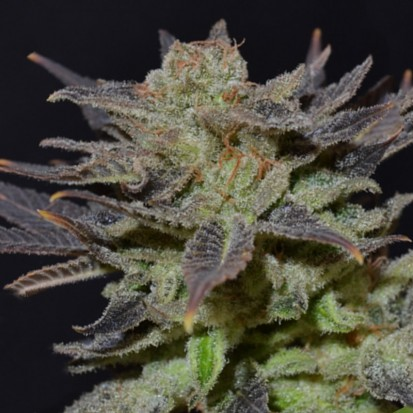 Семена конопли Errors-Seeds Auto Lavender Regular Украина