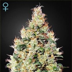 Green House Seed Auto Exodus Cheese CBD Feminised