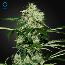 Green House Seed Auto Northern Lights Feminised