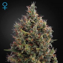 Green House Seed Auto Big Bang Feminised