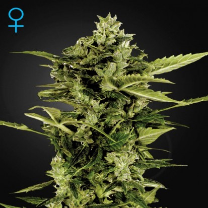 Семена конопли Green House Seed Auto Bomb Feminised