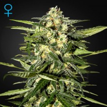 Green House Seed Auto Jack Herer Feminised