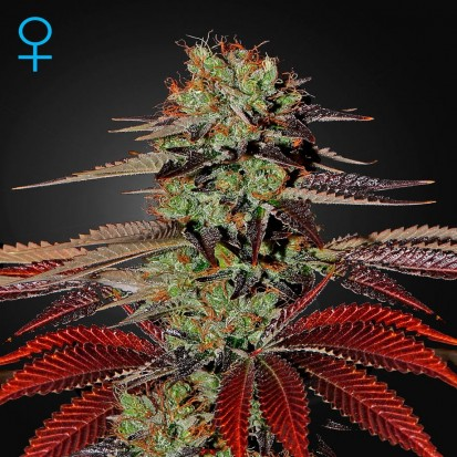 Семена конопли Green House Seed Auto King's Kush Feminised