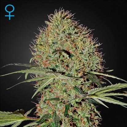 Семена конопли Green House Seed Auto Super Bud Feminised