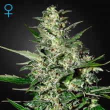 Green House Seed Auto Super Critical Feminised