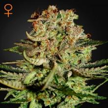 Green House Seed Super Bud Feminised
