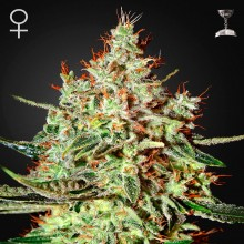 Green House Seed K-Train Feminised