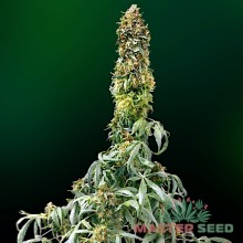 Master-Seed Auto Sweet Tooth Feminised