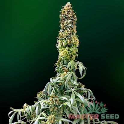 Насіння коноплі Master-Seed Auto Sweet Tooth Feminised