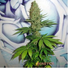 Master-Seed Big Bud Feminised