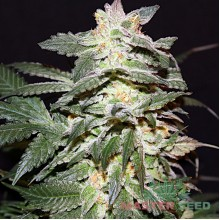 Master-Seed Lemon Skunk Feminised