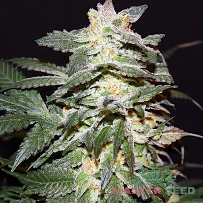 Семена конопли Master-Seed Lemon Skunk Feminised