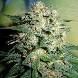 Master-Seed Northern Lights Feminised