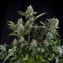 Pyramid Seeds White Widow CBD Feminised