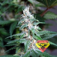 Spanna Seeds Blueberry SV Feminised