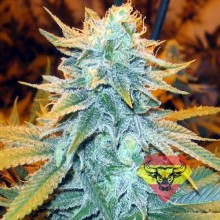 Spanna Seeds AK-47 SV Feminised