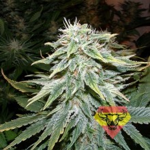 Spanna Seeds Auto Big Bud Feminised